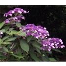 Hydrangea aspera Velvet & Lace - LARGE Sargent Hydrangea Plant