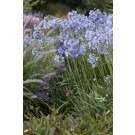 Agapanthus Headbourne Hybrids - Blue Lily of the Nile