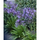 Agapanthus Sunfield - Pack of three Plants