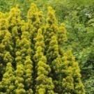 Taxus baccata aurea David - Golden Fastigiate Yew