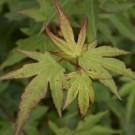 Acer Berry Broom