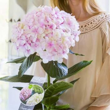 MOTHERS DAY - Giant Flowered Hydrangea Avant Garde - Worlds Largest Hydrangea