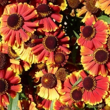 Helenium 'Rotgold' (Red & Gold)
