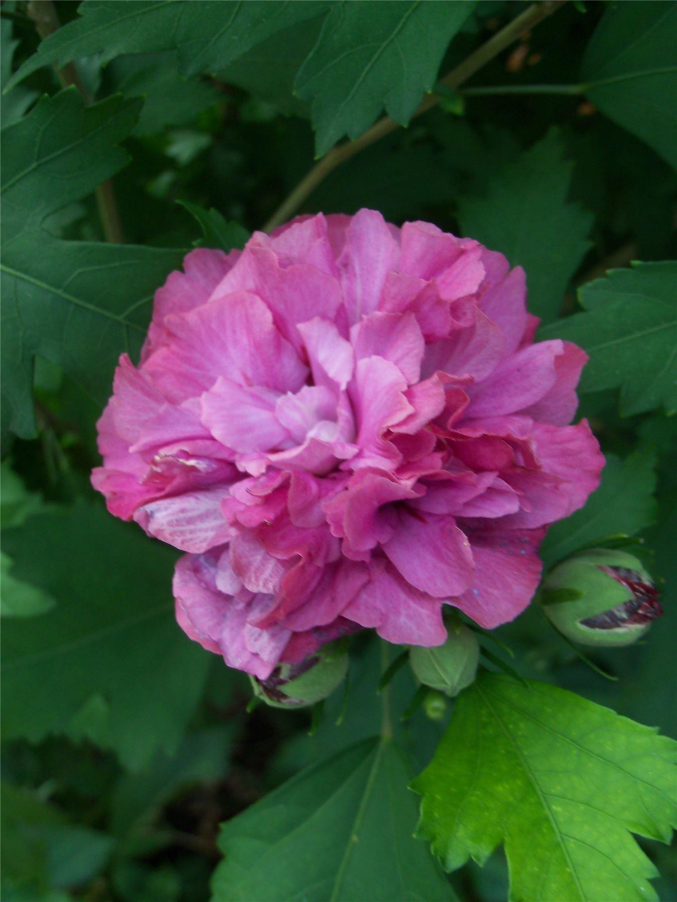 hibiscus duc de brabant double flowered. Black Bedroom Furniture Sets. Home Design Ideas
