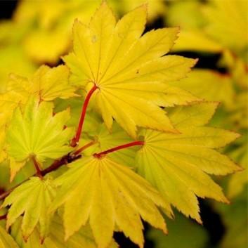 Acer shirasawanum 'Aureum' - Golden leaf Full Moon Japanese Maple