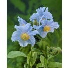 Meconopsis betonicifolia China Blue - Rare Blue Himalayan Poppy