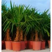 Trachycarpus fortunei - LARGE Hardy Windmill Palm - 100-120cms