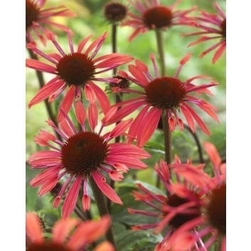 Echinacea purpurea 'Sunset' - Cone Flower