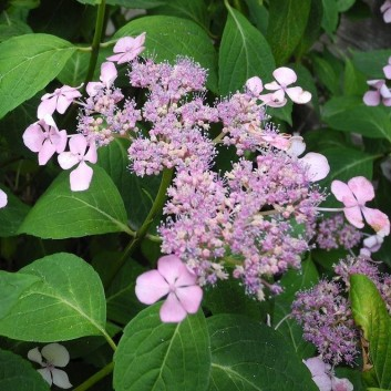 Hydrangea Pink Lacecap - Giant Football sized Flowers - Large Plants