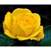 Rose Climbing Arthur Bell - Climbing Rose