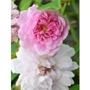 Rose Pauls Himalayan Musk - Climbing Rose
