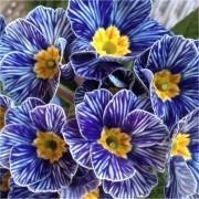 SPECIAL DEAL - Primrose Blue Zebra - Pack of THREE Zebra Blue Primula Plants