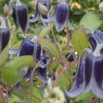 Clematis integrifolia Fascination - Summer Flowering Clematis
