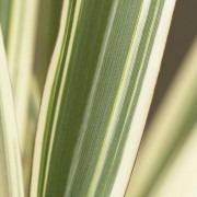 Phormium Tricolour - New Zealand Flax