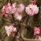 Viburnum bodnantense Charles Lamont - Pack of THREE Plants