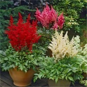 Astilbe Collection - Pack of THREE Flowering Plants