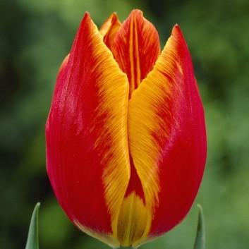 Tulipa Flair - Orange Red Edged Yellow Tulips
