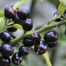 Christmas Box - Sarcococca confusa - Pack of THREE Fragrant Plants