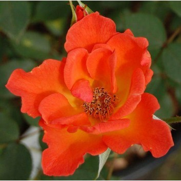 Rose Warm Welcome - Climbing Rose