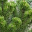 Pinus mugo Mughus - Dwarf Mountain Mugho Pine LARGE