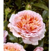 Rose Abraham Darby ® - David Austin ® Old English Shrub Rose