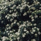 Viburnum tinus - Laurustinus - Pack of THREE