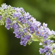 Buddleja - New & Exclusive Patio Buddleia - Lo & Behold  - LILAC CHIP