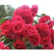 Rose Pauls Scarlet - Climbing Rose