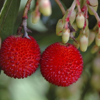 Arbutus Unedo - Strawberry Tree - Large Plant