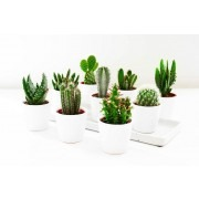 Cactus Plant Collection - Pack of 12 Plants in Assorted varieties