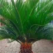 HUGE GIANT Cycad - Cycad revoluta - EXTRA LARGE Specimen King Sago Palm Cycas - Circa 100cm