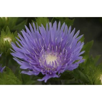 Stokesia laevis 'Blue Star' - Blue Stokes Aster