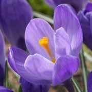 SPECIAL DEAL - Crocus Remembrance - Purple Crocus - THREE lovely Potfulls