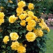 Rose Golden Showers - Climbing Rose