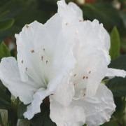 Azalea japonica Pleasant White