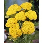 Achillea filipendul. 'Cloth of Gold' - Yarrow