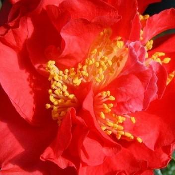 Camellia Blood of China