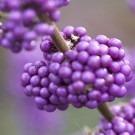 Callicarpa bodinieri Profusion - Beauty Berry
