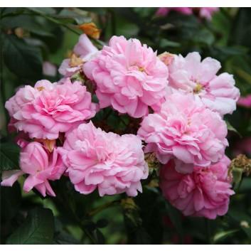 Rose Ispahan - Climbing Rose