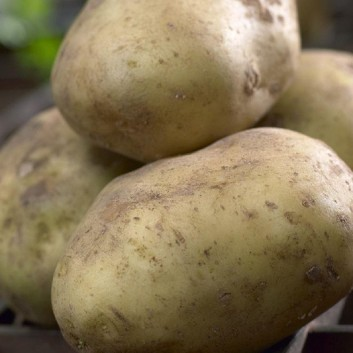 Saxon - 2nd Early Seed Potatoes - Pack of 10