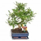 Large Chinese Pepper Bonsai Tree with Glazed dish and saucer in Gift Box