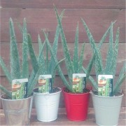 Aloe Vera in SILVER Metal Bucket