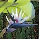 RARE - Strelitzia nicolai - White Bird of Paradise Plant