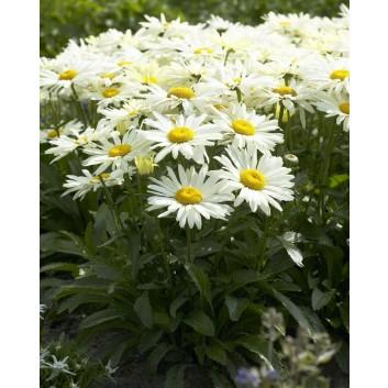 Leucanthemum maximum Broadway Lights - Shasta Daisy