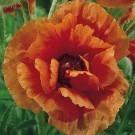 Papaver orientale - Oriental Poppy