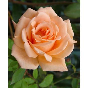 Rose Breath of Life - Climbing Rose