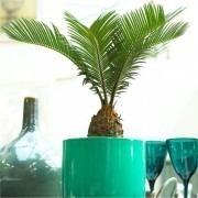 Baby Cycad - Cycas revoluta - King Sago Palm Tree - ideal for windowsill