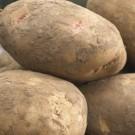 Cara - Main Crop Seed Potatoes - Pack of 10