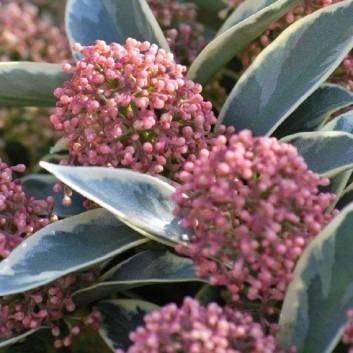 Skimmia Magic Marlot - A Jewel in your Garden