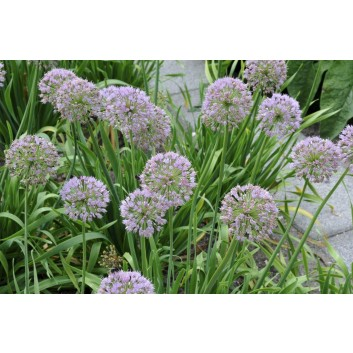 Allium senescens - Ornamental Garlic-Onion